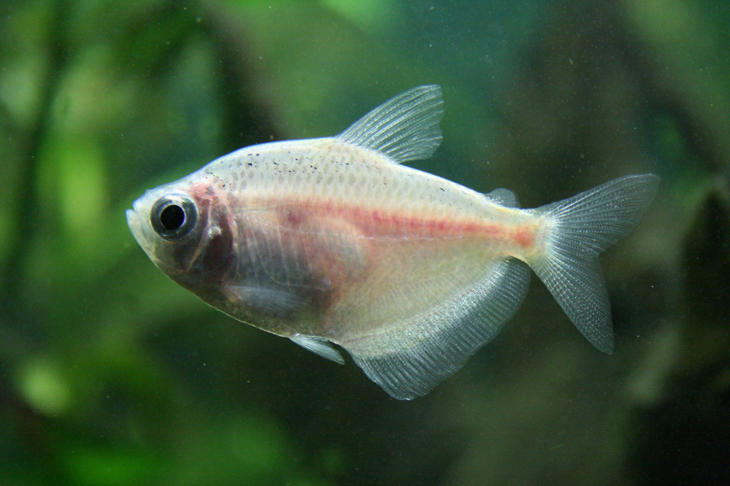 White tetra tropical fish asia for Pictures of white fish