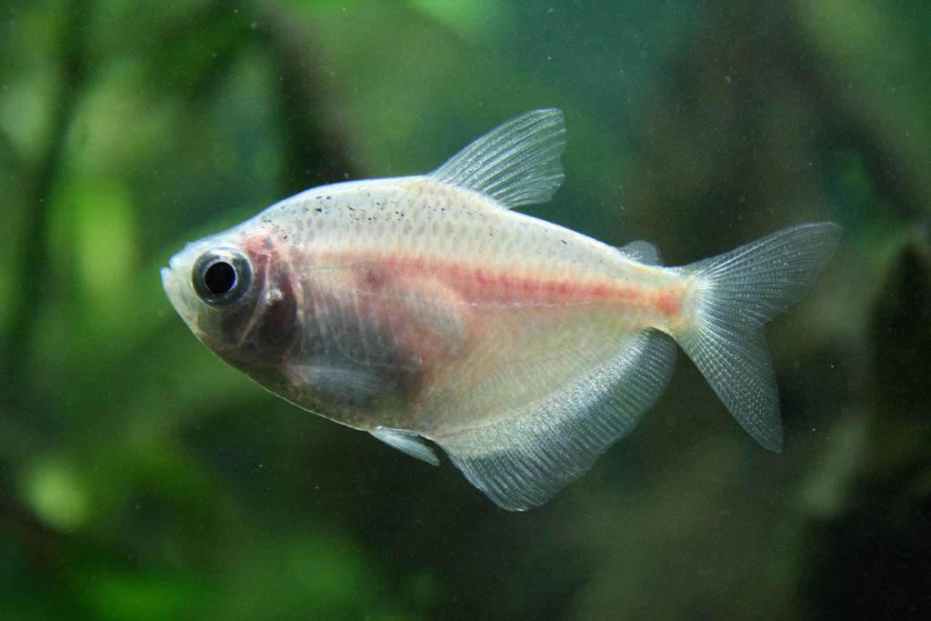 White tetra tropical fish asia for White fish types