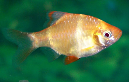 gold-tiger-barb