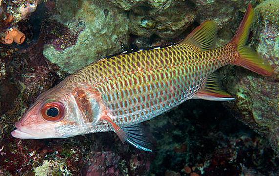 Squirrelfish tropical fish asia for Jims exotic fish
