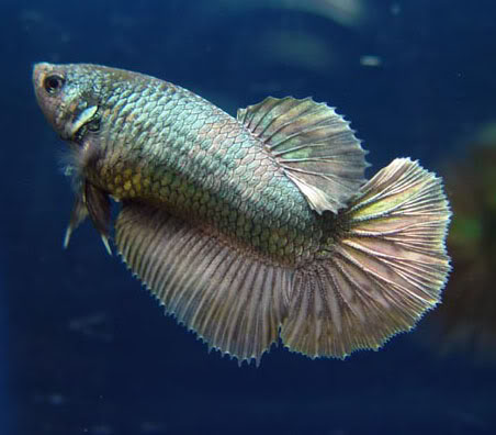 Betta Fish Names Male Female Blue Funny amp Clever